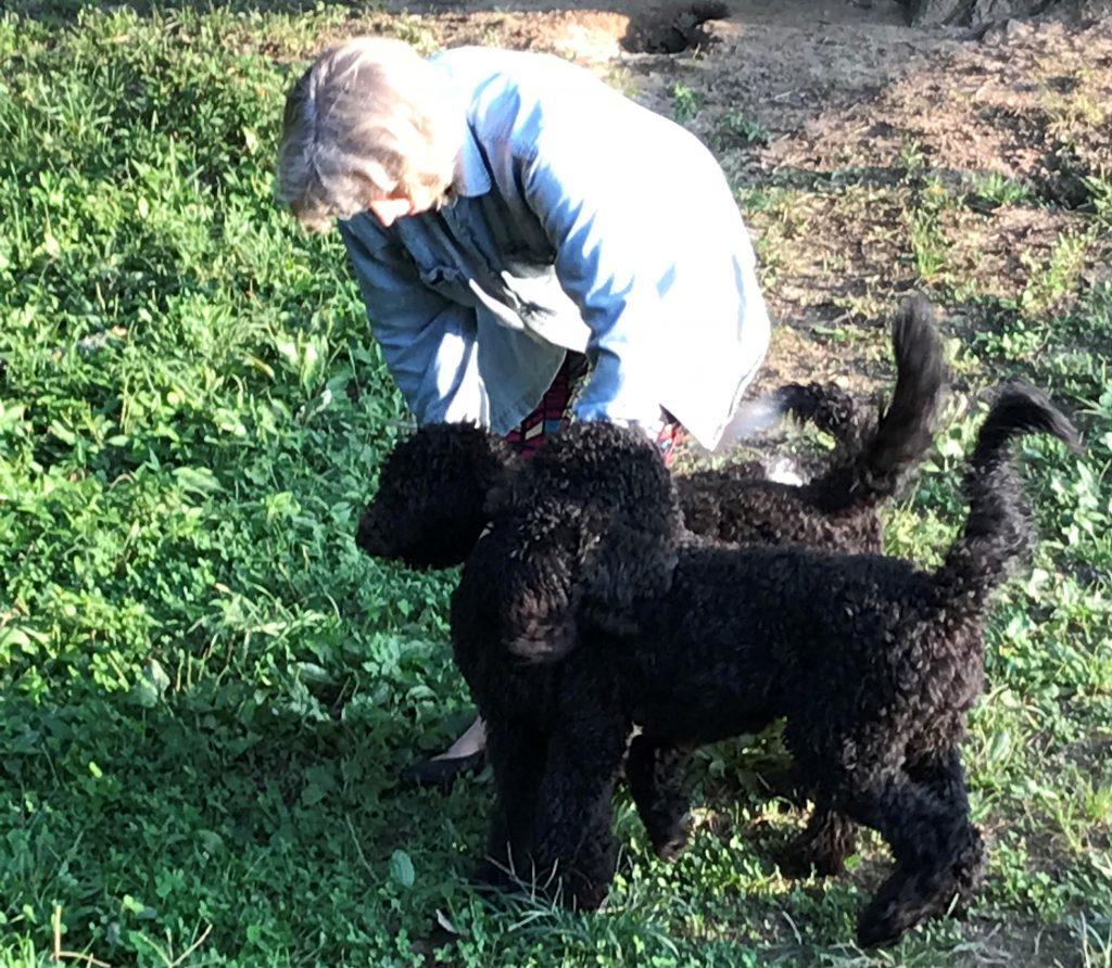 Two Black Labradoodle Puppies For Sale In Virginia Rv Site With